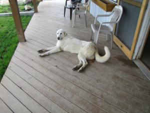 Dog on the Porch