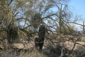 Saguaro Tree