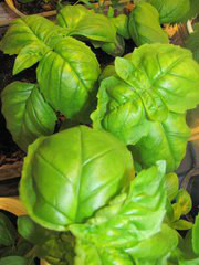 Basil leaves straight from my grow light