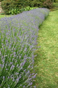 Lavender as a hedge