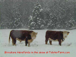 Herefords on the Falster Farm