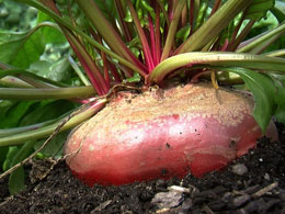 Beets from Back to Eden