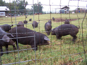 Pigs on Pasture at Falster Farm