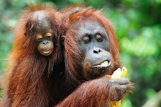 Orangutans are devestated by Palm Oil