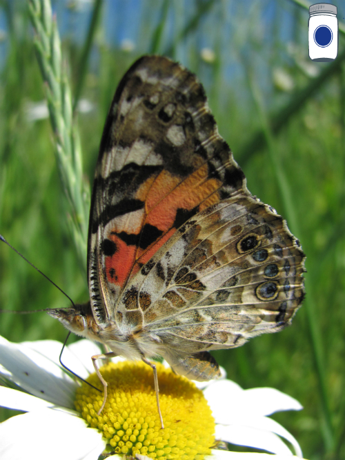 Butterfly on Oxeye