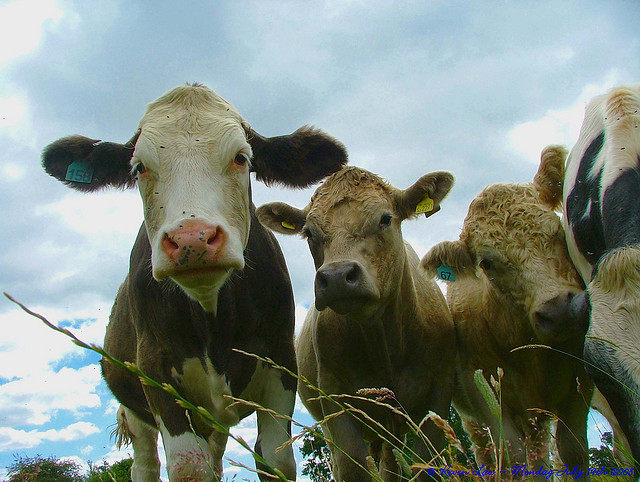 Cowshares and Raw Milk Legalities