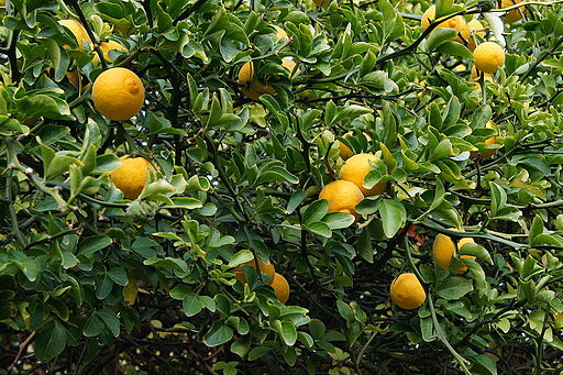 Making Citrus Cleaners