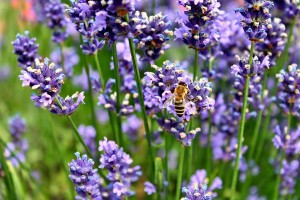Keeping Bees: On Lavender