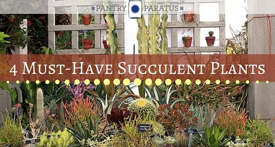 4 Must-Have Succulent Plants