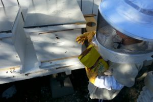Peanut (8 years old) working the docile hive; the one that attacked is next to it on the left.