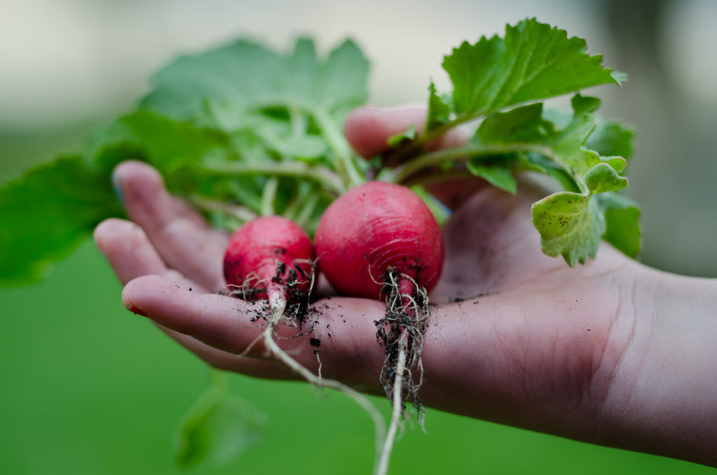 radishes in a child's hand