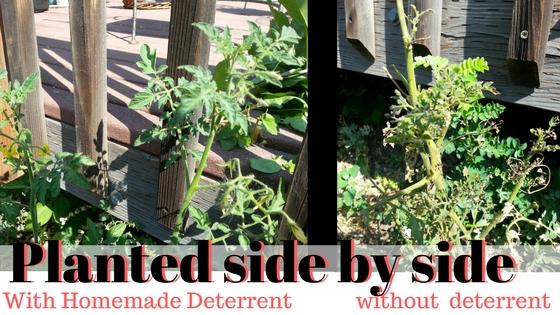 tomato plant not sprayed